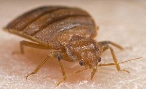 Bed bugs cause red welts and irritated skin