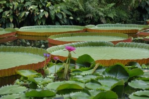Lily pads at the Royal Botanic Garden in Edinburgh