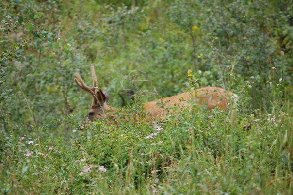 A deer at Maroon Bells