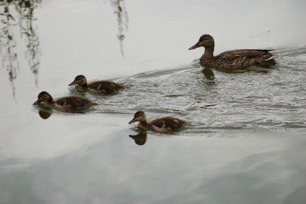 Ducks at Maroon Bells in Colorado