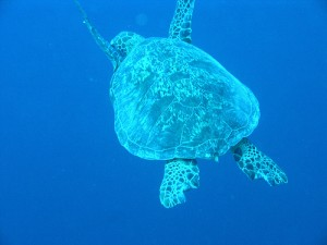 Sea turtle in Sipadan