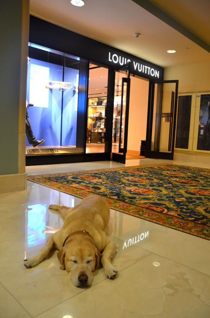 Canine Ambassador dog at Fairmont Hotel Vancouver