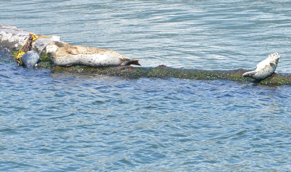 Seals on harbor cruise in Vancouver