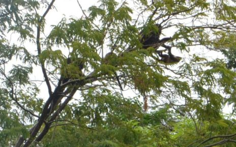 Howler monkeys in Tamarindo, Costa Rica