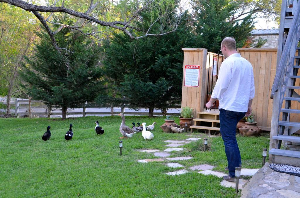Ducks in Fredericksburg