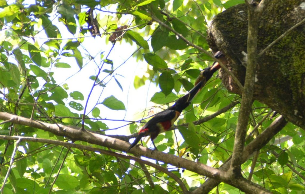 Toucan in Manuel Antonio Park