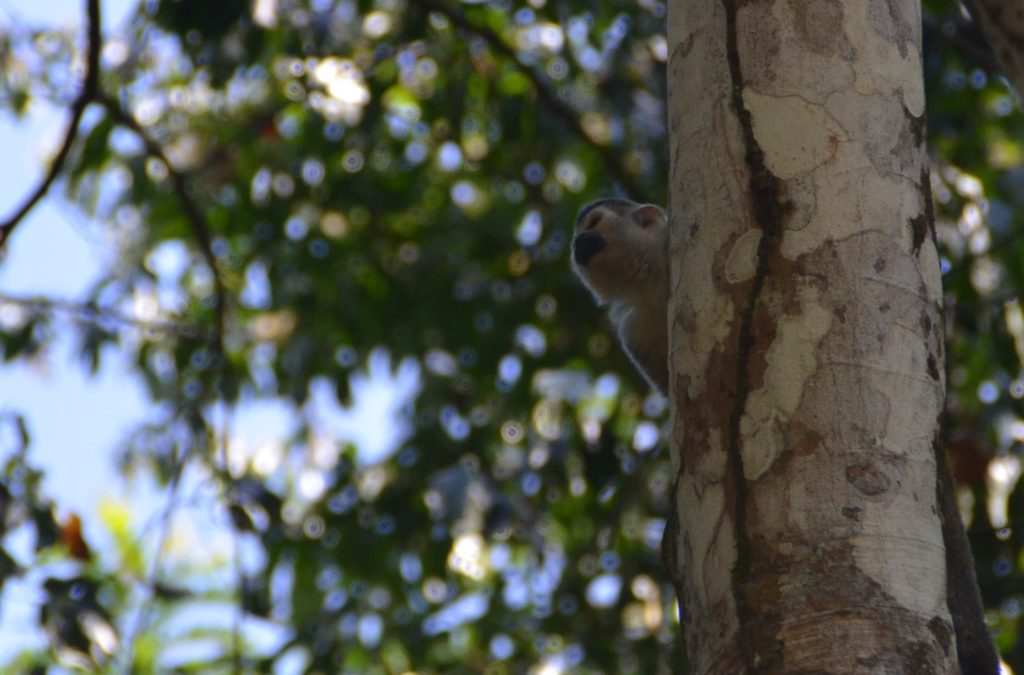 Squirrel monkey in Manuel Antonio Park