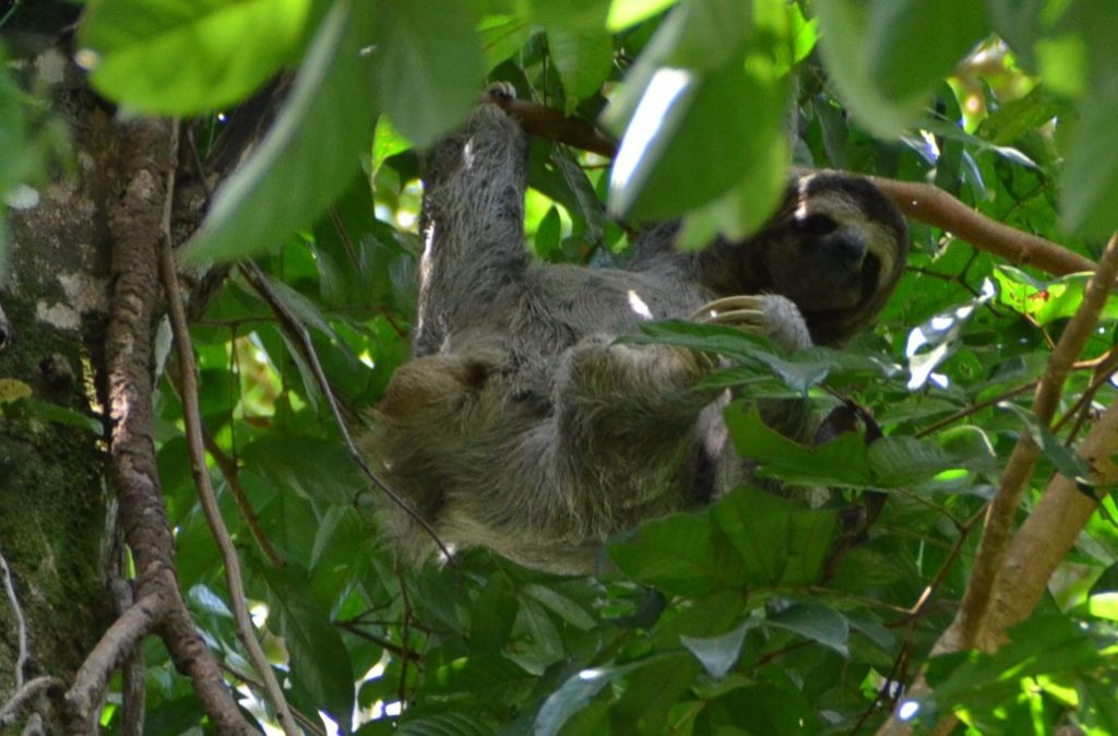 A three-toed sloth in Manuel Antonio Park