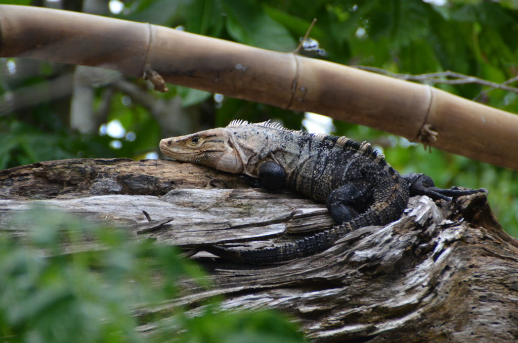 Black iguana in Manuel Antonio Park