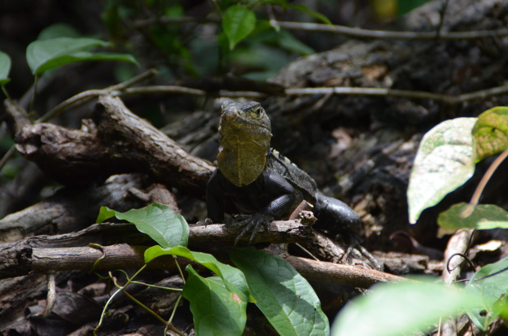 Lizard in Manuel Antonio Park