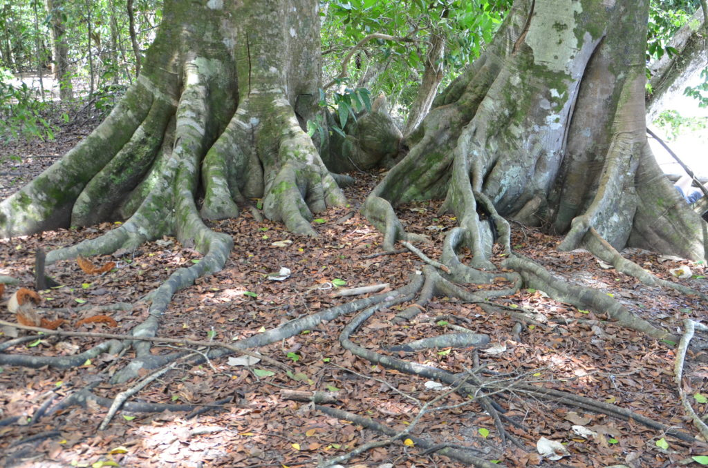 Massive tree roots at Manuel Antonio
